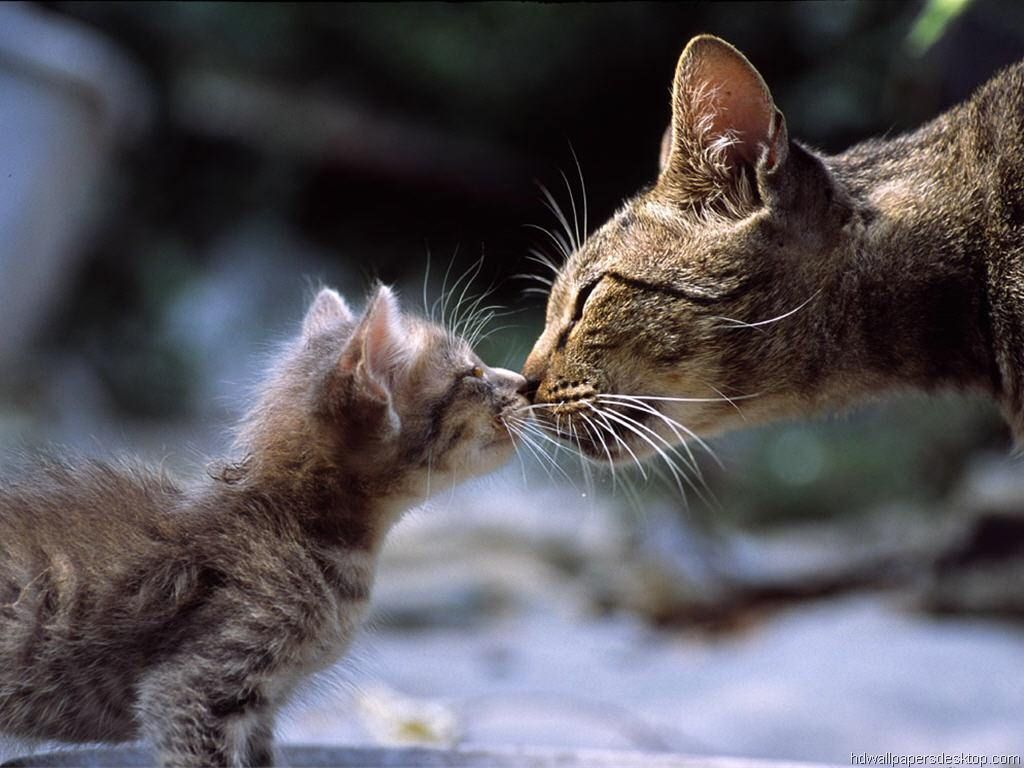 Picture Of A Mother Cat Tenderly Rubbing Noses With Her Baby