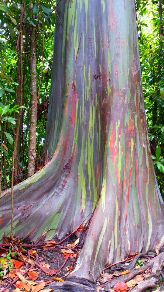 Bạch đan đa Sắc Cầu Vồng California Picture Of A Rainbow Eucalyptus I Took In Maui Rainbow Eucalyptus Rainbow Eucalyptus Tree Unique Trees