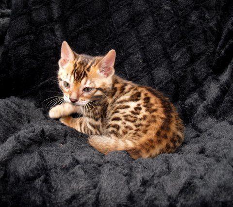 Kittens Bengal Kittens For Sale In Oklahoma Bengal Kittens For Sale Bengal Cattery Bengal Kitten Kittens Kitten Pictures