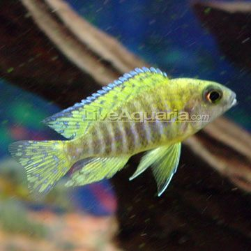 Yellow Peacock Cichlid Want To Add Aquarium Fish Tropical Fish Cichlid Aquarium