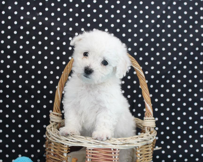 Hunter Male Akc Bichon Frise Pupper For Sale At Edon Ohio Shih Tzu Bichon Frise Mix For Sale Dog Breeds In 2020 Shichon Puppies Bichon Frise Dogs Dog Breeds Pictures
