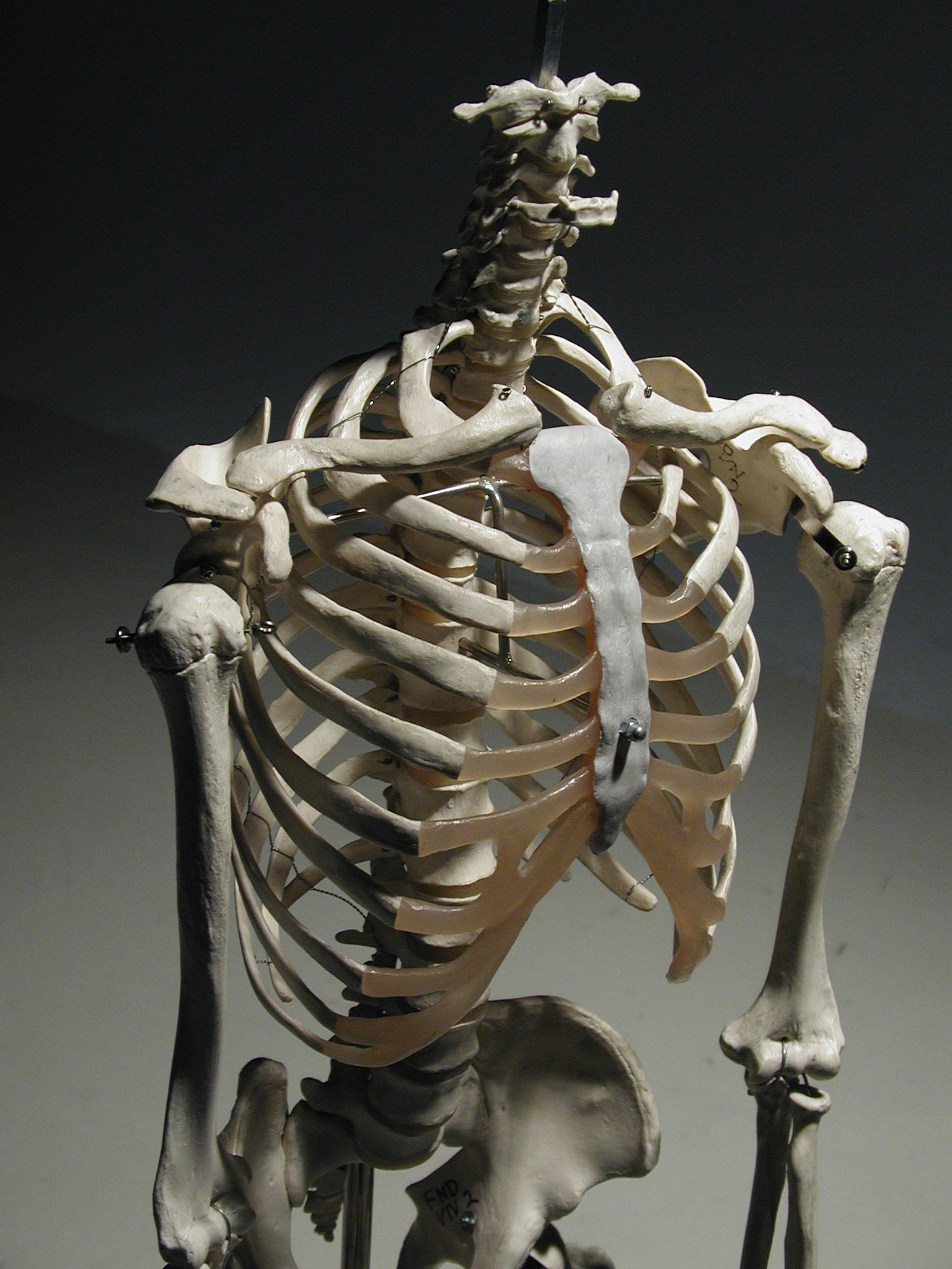 Human rib cage, 3/4 front view | Bone Structure | Pinterest | Human ...