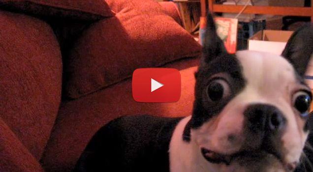 Very Dramatic Boston Terrier Dog Video Boston Terrier Boston Terrier Dog Dog Video