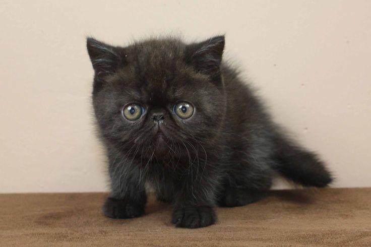 black exotic shorthair | ... Black Exotic Shorthair Kitten ...