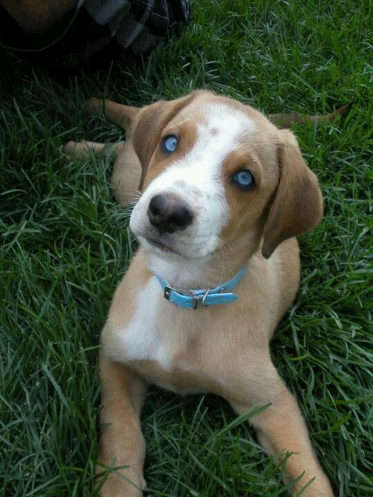 Boxer husky lab puppy (With images) Cute baby puppies