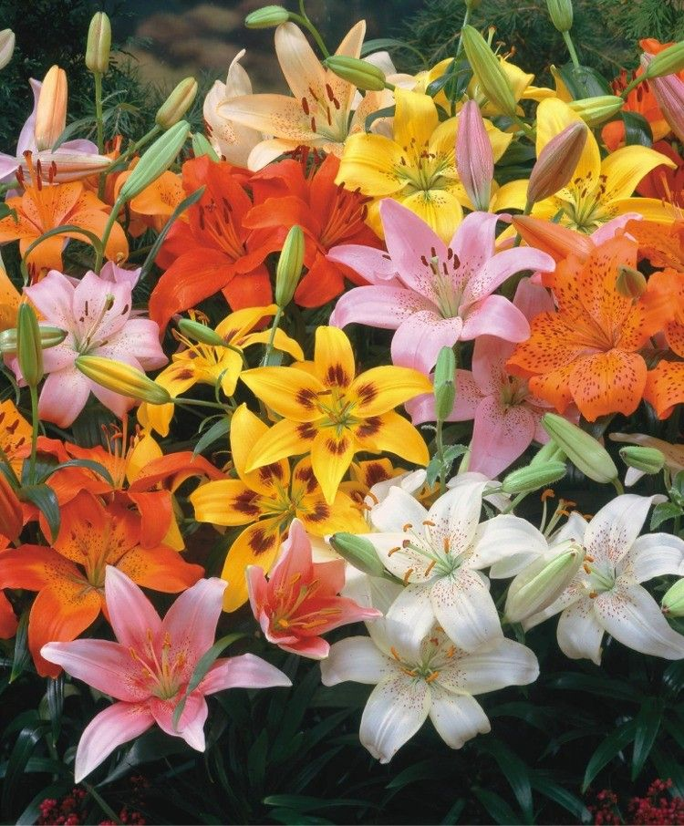 The Asiatic Lily Rainbow Mixture Lilies Sun Plants Bulb Flowers Flowering Trees