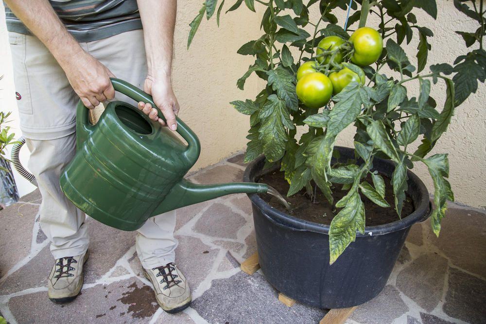 5 Tipps für Tomaten im Topf #tomatenzüchten