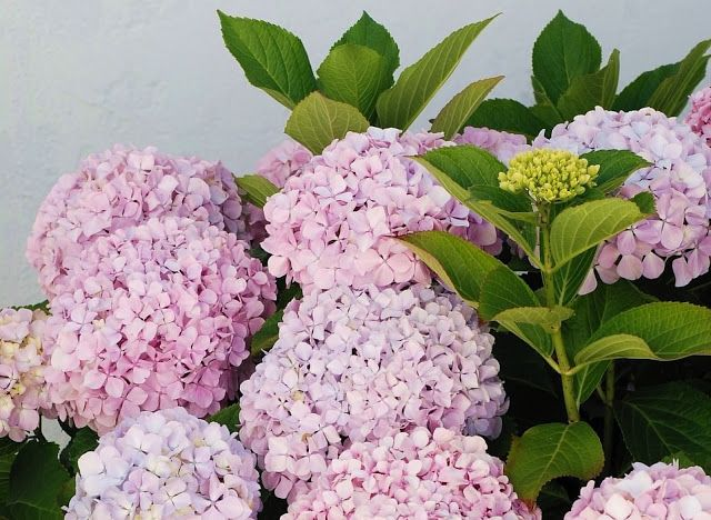 First Discovered In Japan The Name Hydrangea Comes From The Greek Hydor Meaning Water And Angos Meaning Jar Or Ornamental Plants Plants Hydrangea