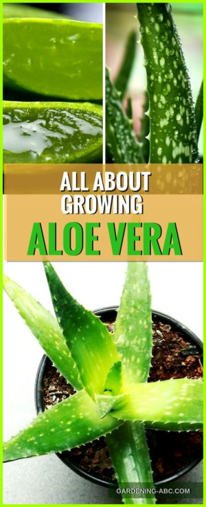 How To Grow Aloe Vera Plant: Here Are Some Useful Aloe Growing Tips #kräutergartendesign