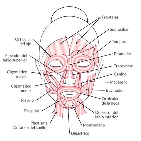 musculos faciales - Cerca con Google   anatomía   Pinterest ...