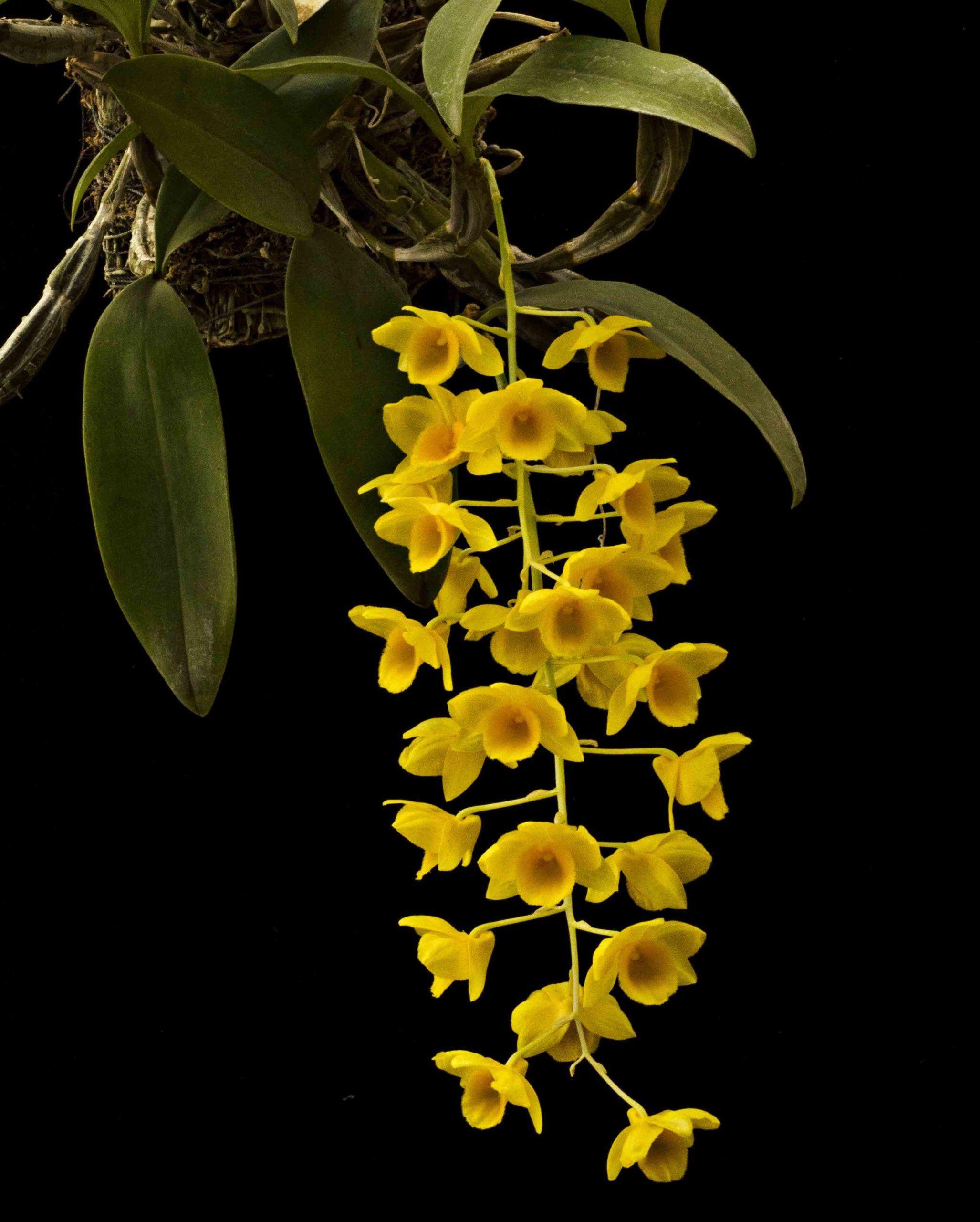 Dendrobium Guibertii Orchids Forum Orchids Dendrobium Orchids Orchids Garden