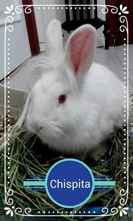 #adopta #conejo Chispita es un gazapillo de unos 7 meses, guapo, listo, cariñoso....lo tiene todo!...menos una familia...¿quieres ser lo tu? Escribenos a info@rabbitrescuespain.org y te contamos como. Sólo #Madrid