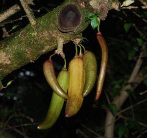 Guajilote (Parmentiera aculeata).