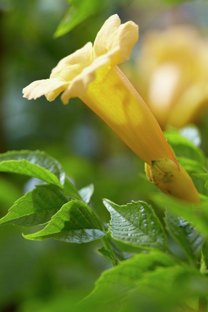 Yellow trumpet vine campsis radicans f flava trumpet creeper yellow trumpet vine campsis radicans f flava trumpet creeper trumpet vine plants flowers 99roots mightylinksfo