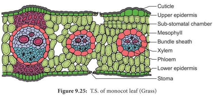 Anatomy And Primary Structure Of A Monocot Leaf Grass Leaf Leaf Structure Leaves Fancy Letters