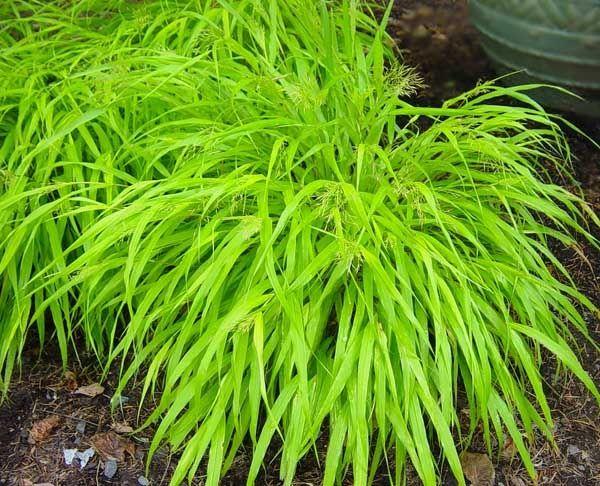 Hakonechloa macra siergras schaduw front yard for Ornamental grasses for front yard