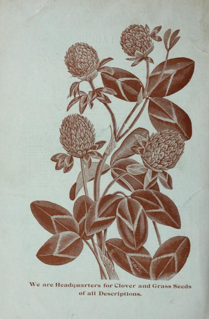 Clover illustration, c.1896. Back cover of seed catalogue.