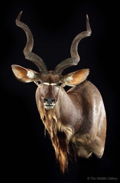 Kudu Pedastal Mounts Google Search Hunting Taxidermy