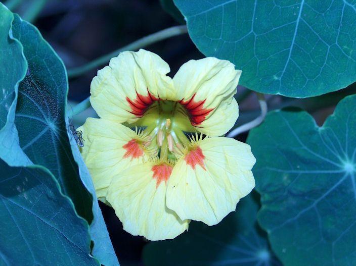 Kapuzinierkresse Blüte