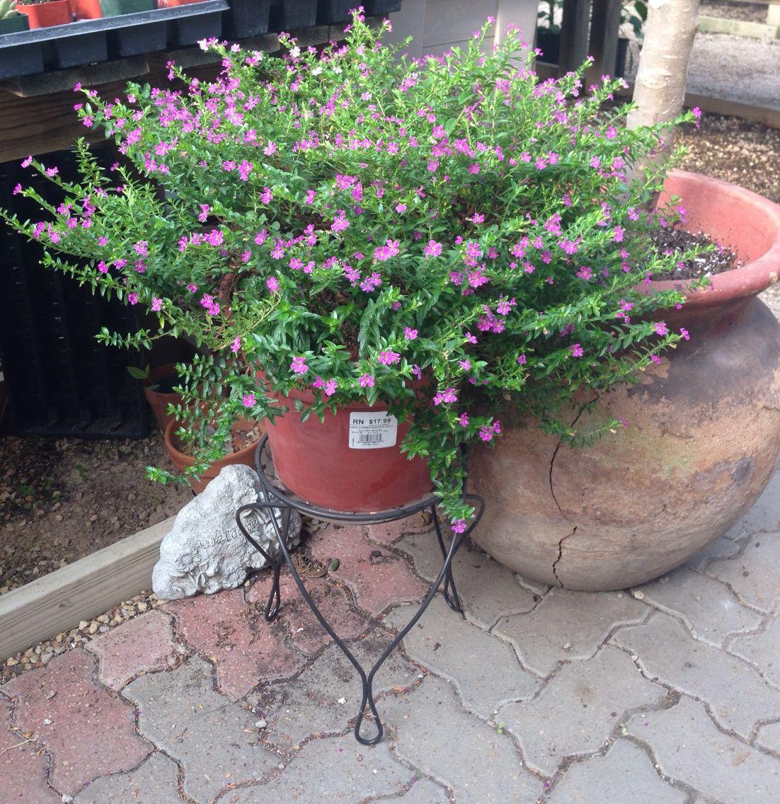 Mexican Heather Cuphea In Container Backyard Garden Diy Small Space Gardening Backyard Garden