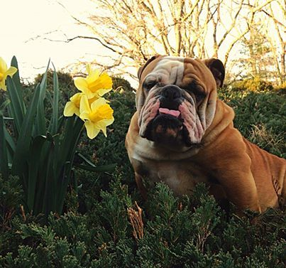 I Am Going To Smell This Pretty Flower And Try Not To Eat It English Bulldog Bulldog Sweet Animals