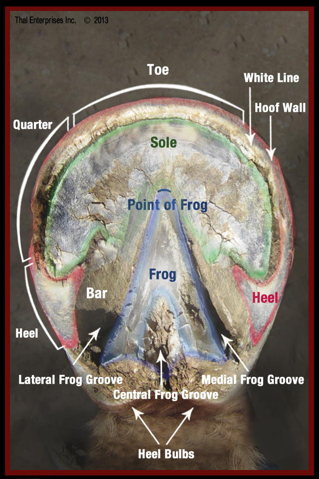 Hoof sole from our Vitals & Anatomy - see the rest of our visual ...