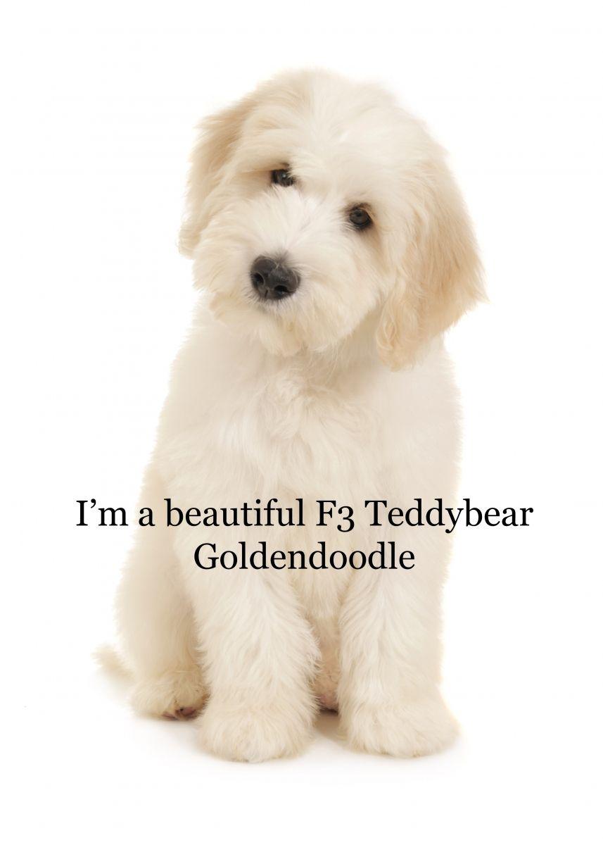multi-gen goldendoodles | teddybear goldendoodles | doodle
