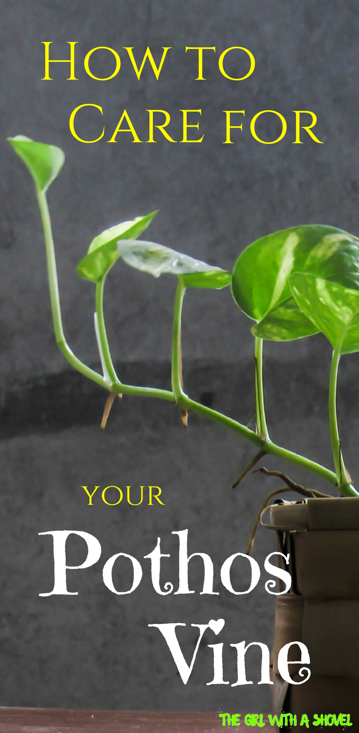Pothos Vine Care is part of House plant care, Plants, Pathos plant, Pothos vine, Air cleaning plants, Inside plants - Do you have a Pothos vine  Check out this post on Pothos Vine Care and learn about light requirements, water requirements, and overall Pothos care tips!