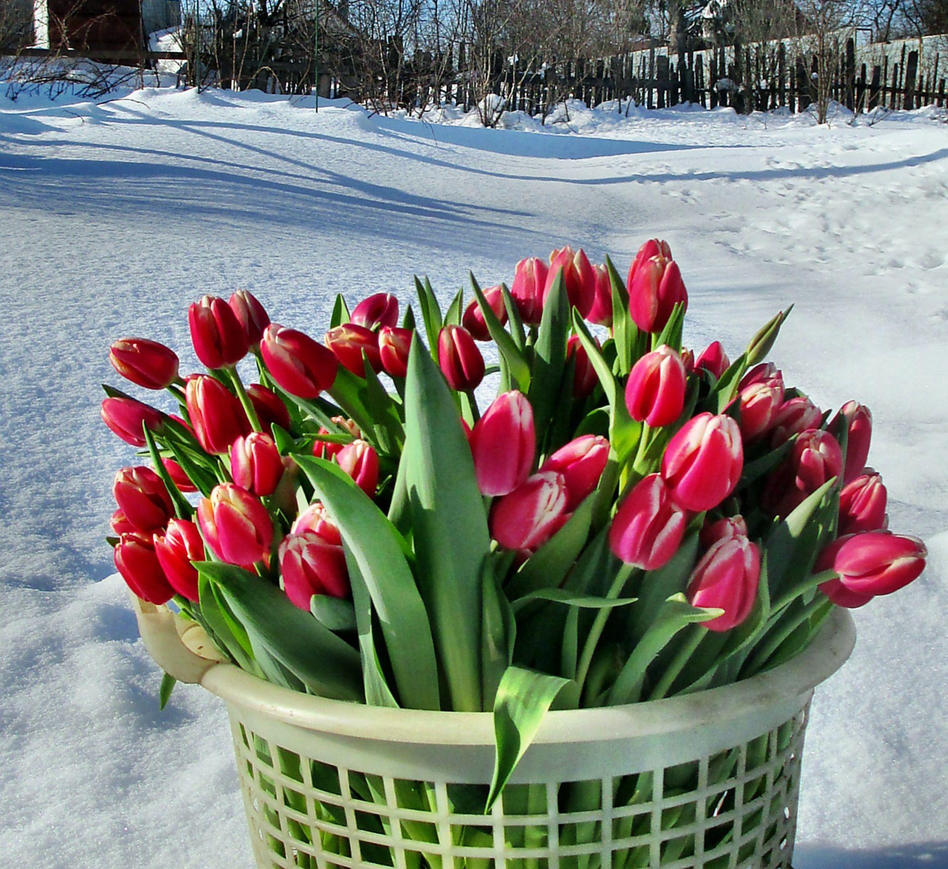 картинки тюльпаны в феврале избежание напрасных