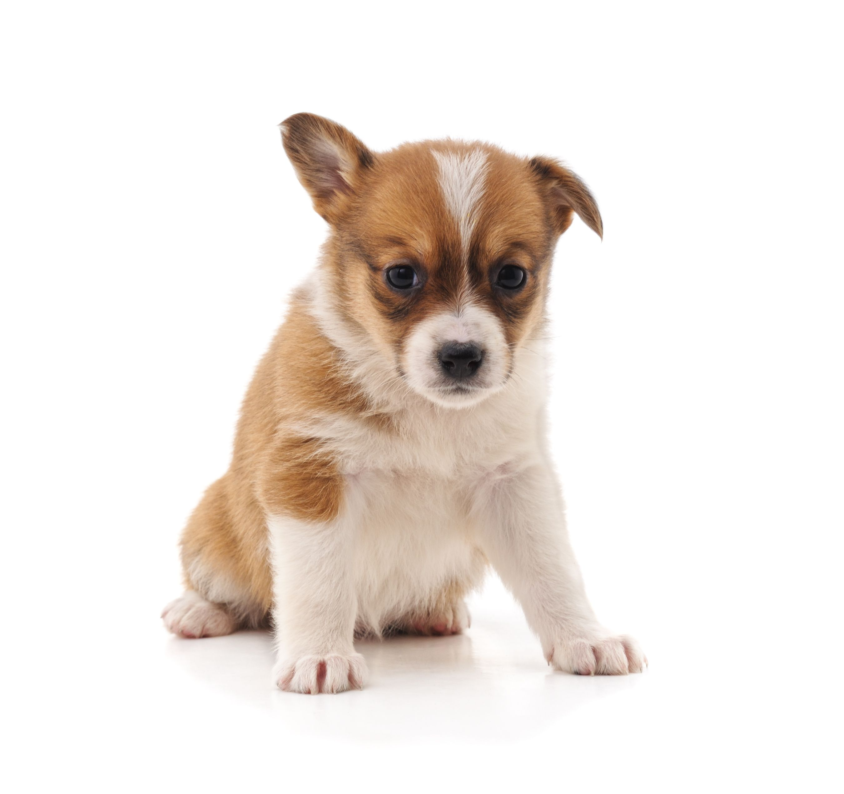 Best One Little Puppy Isolated On A White Background Puppy