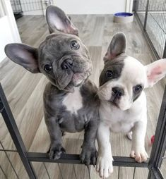 Stunning hand crafted french bulldog accessories and jewelery available at Paws Passion Shop! Represent your frenchie puppy with our merchandise! #frenchbulldog #frenchie #puppy #jewellery #accessories #dogs #pups #funnybulldog