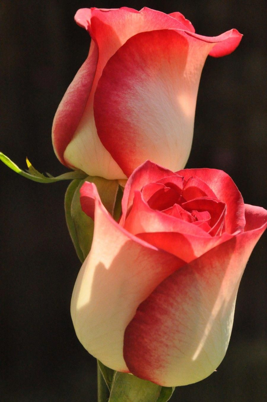 Shallow focus photography of red flower. beautiful flowers dp images #beautifulflowersromantic ...