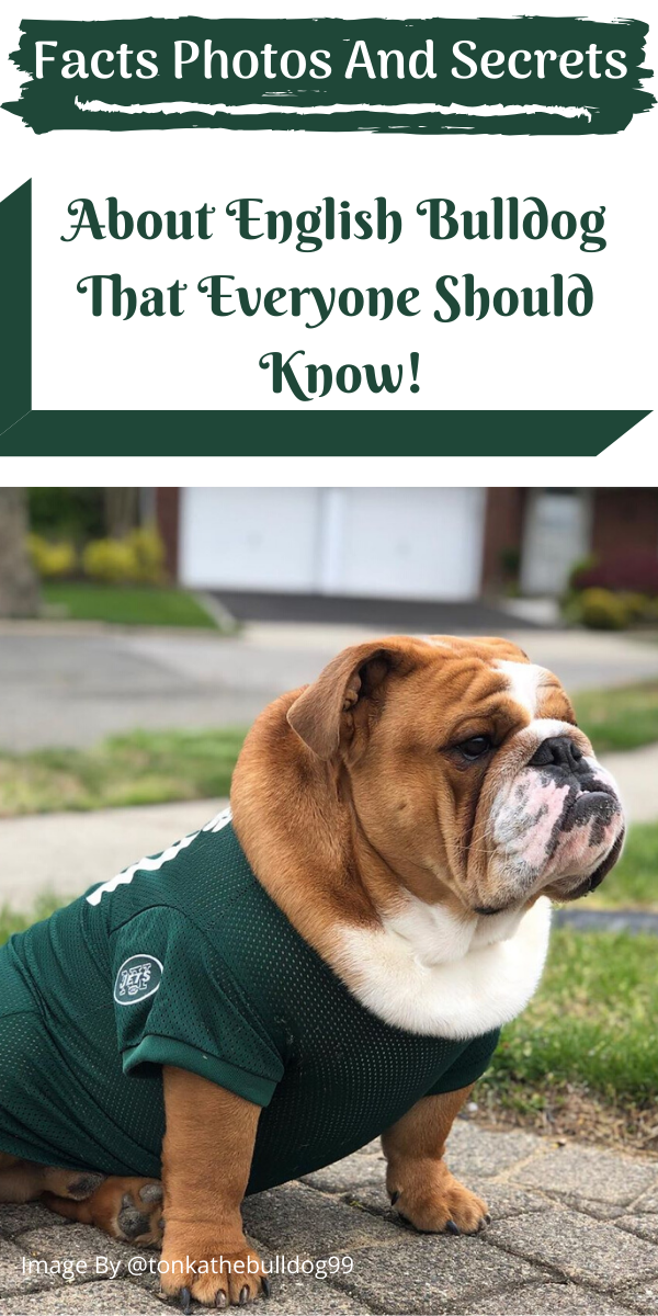 Facts Photos and Secrets About English Bulldog That