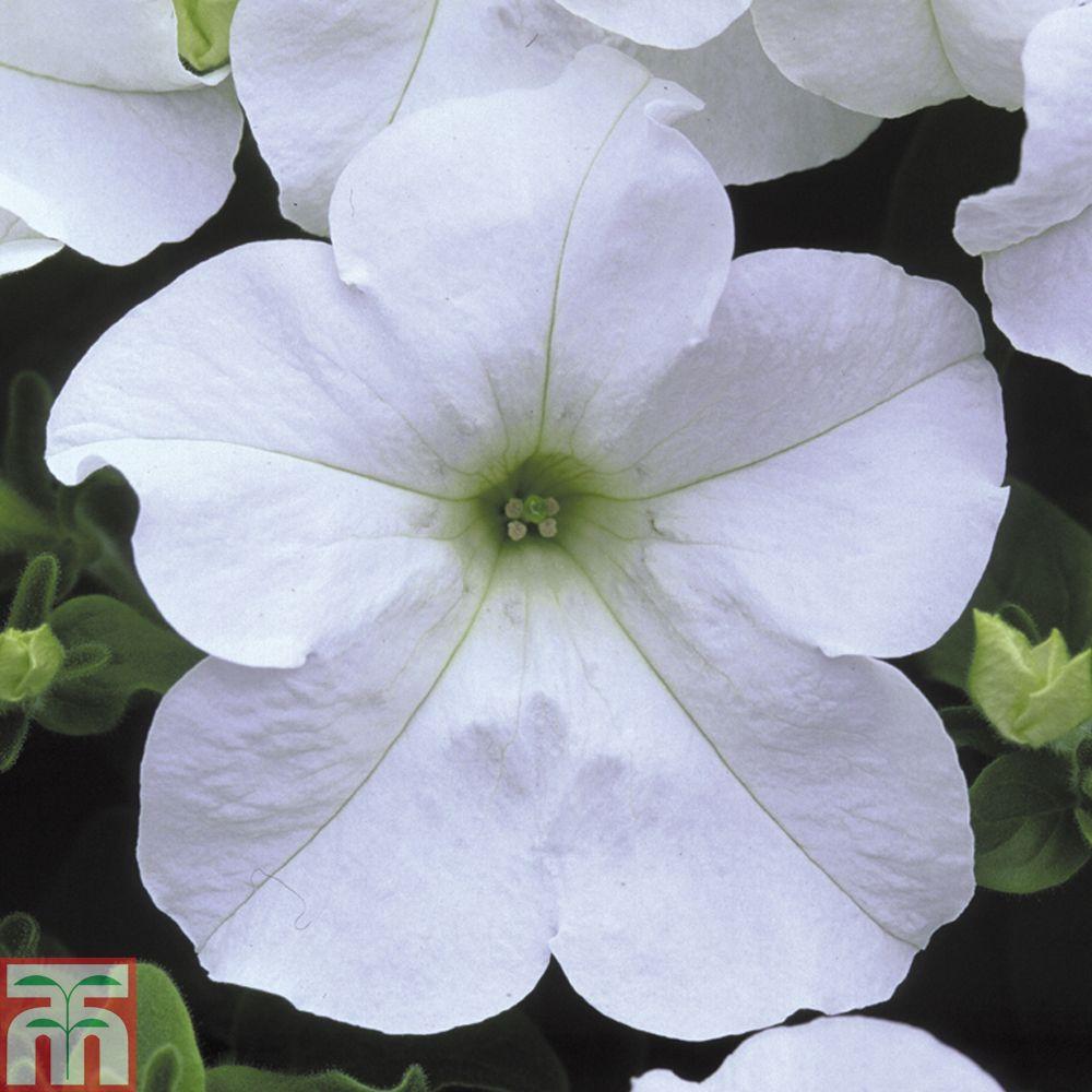 Petunia Trailing Surfinia White Annual Plants Thompson