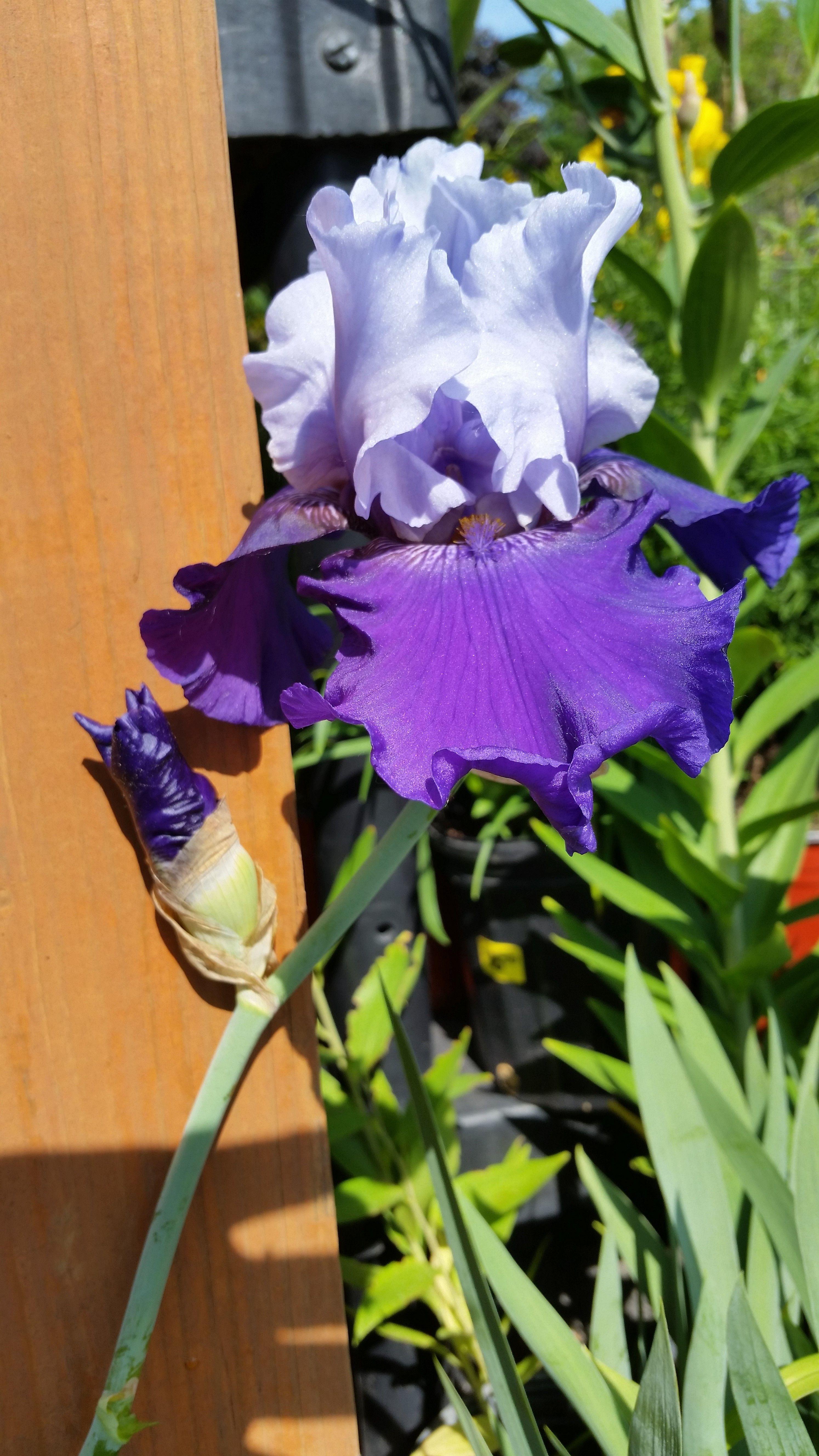 Bearded Iris The Queen Of Garden