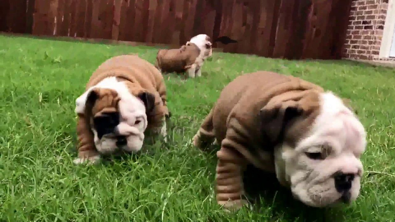 Funny Puppies English Bulldog in 2020 English bulldog