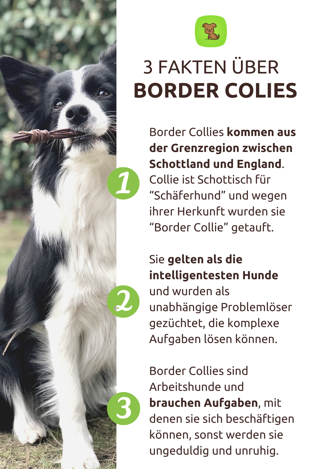 3 Fakten Uber Border Collies In 2020 Hunde Arbeitshunde Border Collie