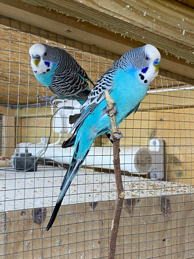 Birds Rehome Buy And Sell Preloved In 2020 Blue Budgie