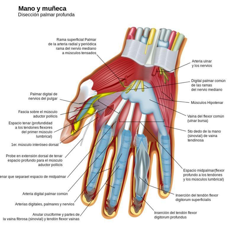 Cuántos huesos hay en la mano?