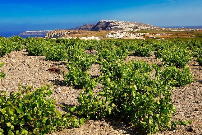 TRAVEL'IN GREECE | Low growing vines of #Santorini, #South_Aegean, #Greece, #travelingreece