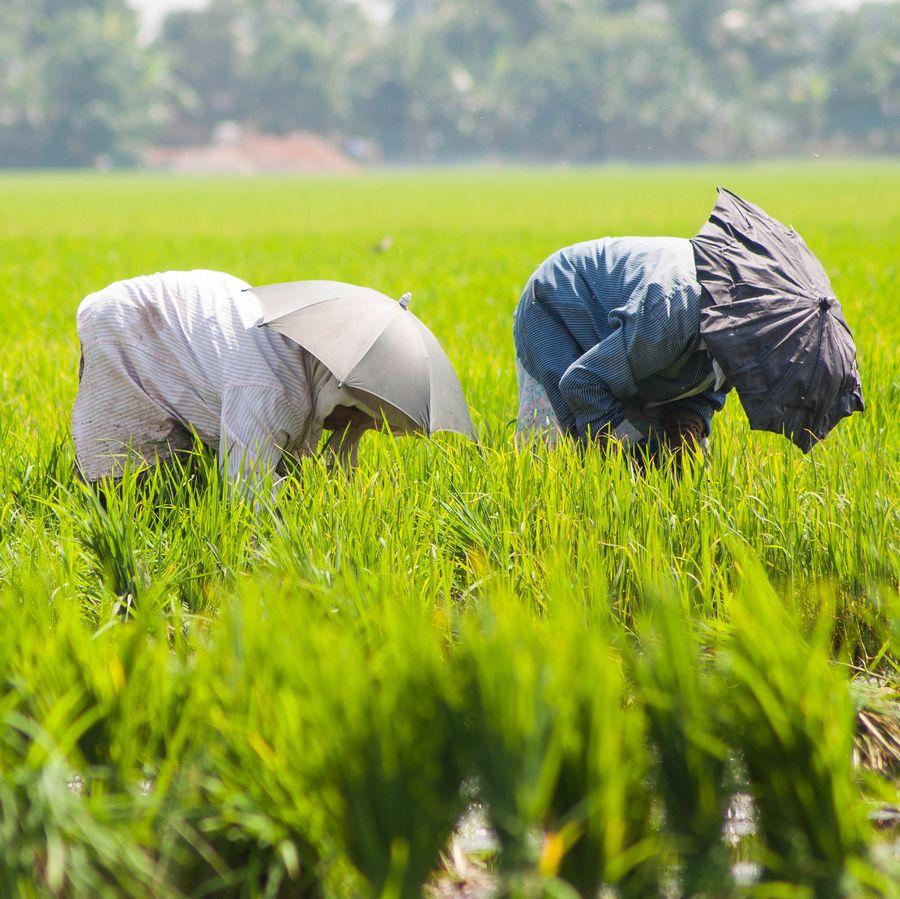 Paddy Fields by Abhinav Asokh on 500px