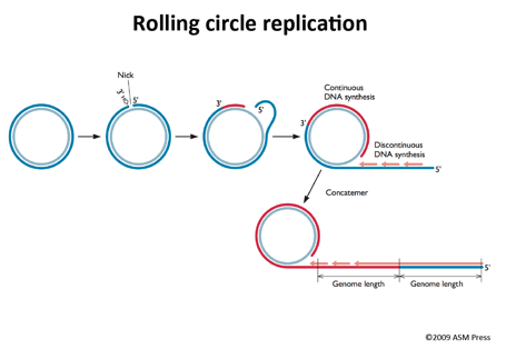 Image result for rolling circle replication | Bio ...