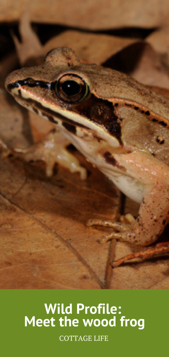 Wild Profile Meet the wood frog Frog, Surviving cold