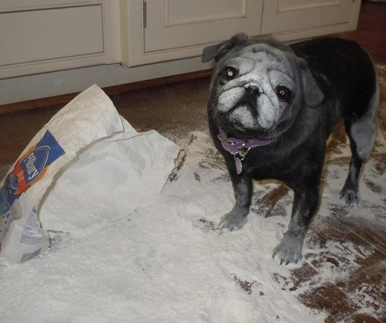 Flour Pug Pugs Funny Pugs Pug Love