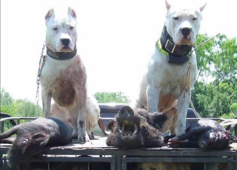 Dogo Argentino With Boar Kills Perros Argentina Perros Salvajes