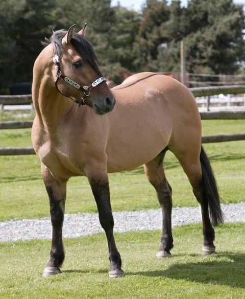 Azteca Horse Pura Raza Espanola Yeguada Herrera Caballos