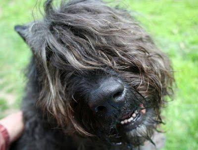 Bouvier Des Flandres...this dog just looks so friendly doesn't it?
