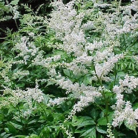 Photo from Missouri Botanical Garden Plant Finder | Eidble Front ...
