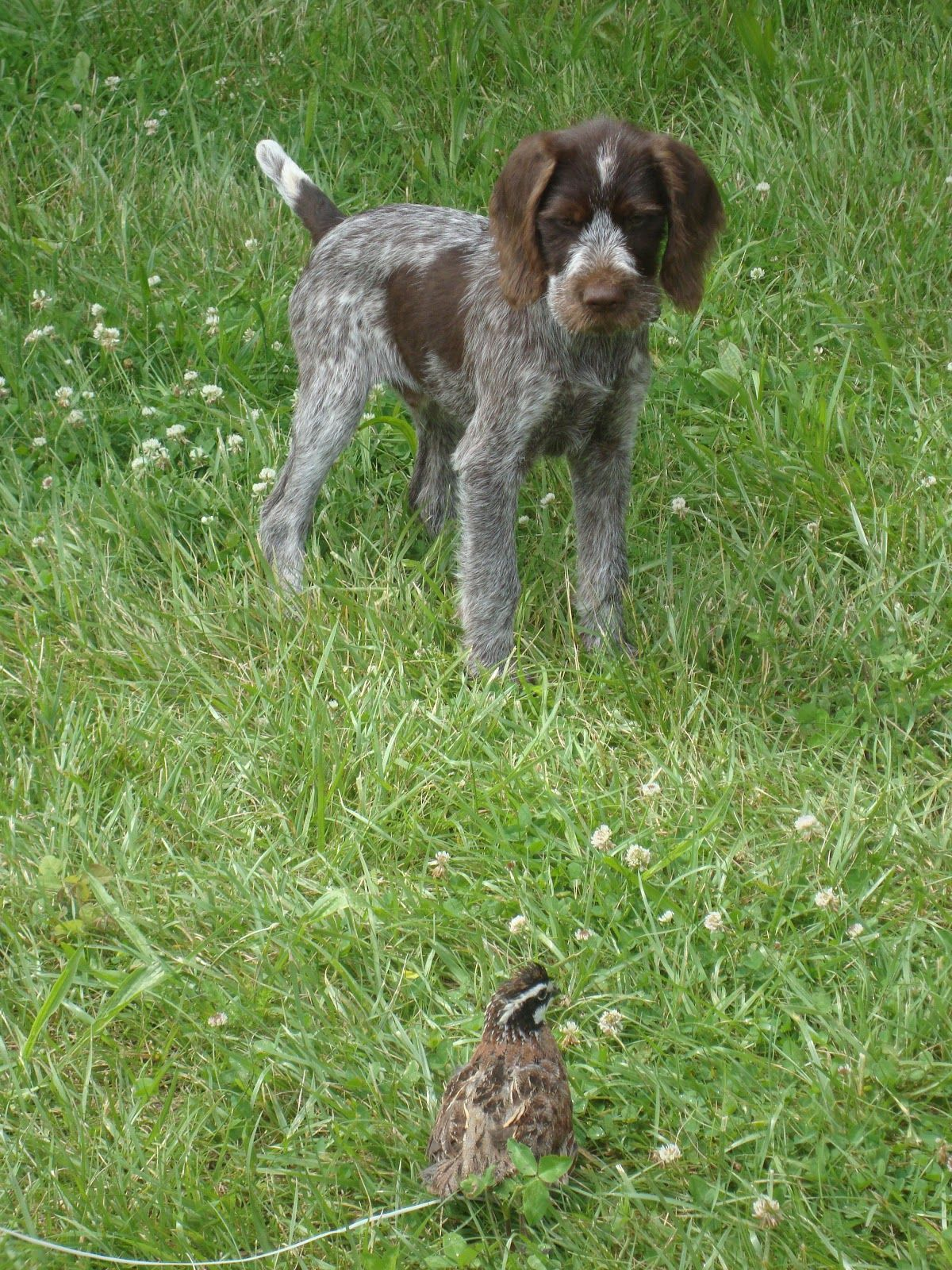 Image of italian spinone brown roan young puppy blue sitting cute - German Shorthaired Pointer Dog Breed Information