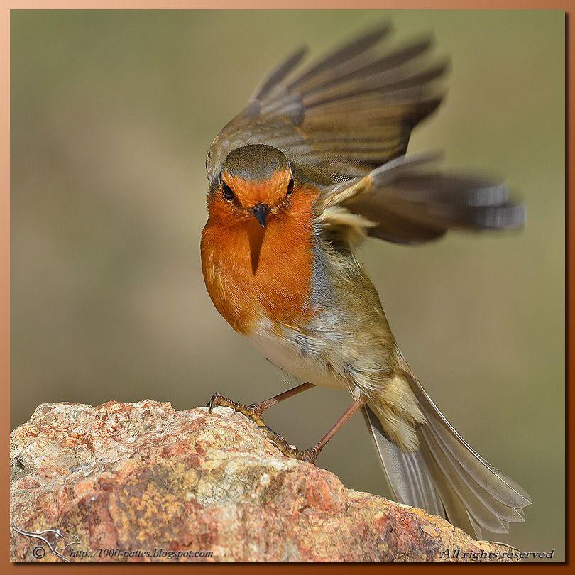 Jardin 5 Choses A Savoir Sur Le Rouge Gorge Robin Bird Beautiful Birds Wild Birds